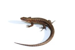 Common lizard (Lacerta vivipara) Stock Photos