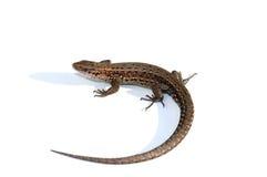 Common lizard (Lacerta vivipara) Stock Photos