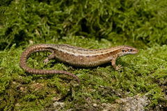Common Lizard, Lacerta vivipara,. Single animal in Dorset royalty free stock photography