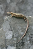 Common Lizard, Lacerta vivipara, Stock Photo