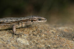 Common Lizard, Lacerta vivipara, Royalty Free Stock Photos