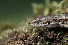 Common Lizard, Lacerta vivipara, Royalty Free Stock Images