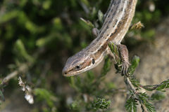 Common Lizard, Lacerta vivipara, Royalty Free Stock Image