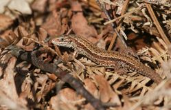 A stunning Common Lizard Lacerta Zootoca vivipara warming itself in the spring sunshine on leaf litter on the ground. A Common Lizard Lacerta Zootoca vivipara Royalty Free Stock Photo