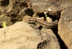 Common lizard laying in the sun. On the rocks stock photo