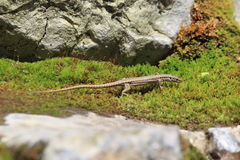 Common lizard. On the moss stock photography