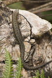 Common Lizard on piece of wood Stock Photos