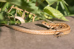 Common lizard. In Rainham Marshes in England enjoying and soaking in the warm sun stock photo