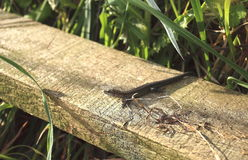 Common lizard is the UK's most common and widespread reptile. The common lizard is the UK's most common and widespread reptile. It is the only reptile Stock Image