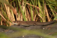 Common lizard . Stock Photos
