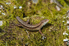 Common Lizard (Viviparous). A Common Lizard sat on Moss looking at the camera royalty free stock photography
