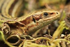 Common Lizard Stock Photo