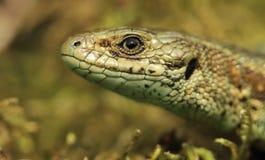 Common Lizard Royalty Free Stock Photo
