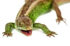 Common lizard on white. Green common lizard with opened mouth isolated on white royalty free stock photo