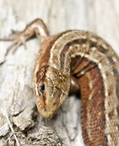 Common lizard, Zootoca vivipara Royalty Free Stock Photo