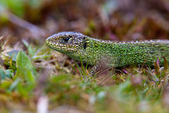 Common Lizard (Zootoca vivipara) Stock Images