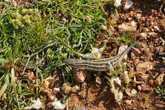 Common Lizard Zootoca vivipara with a missing tail on ground royalty free stock photography