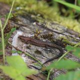 Common Lizard (Zootoca vivipara). This picture shows a common Lizard on a moss covered log. The lizard has it's front limbs on a discarded skin, either from Royalty Free Stock Photo