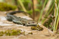 Common Lizard,Zootoca vivipara, warming in the sun. A Common Lizard, Zootoca vivipara, warming in the sun stock image