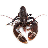 Common lobster. Royalty Free Stock Image
