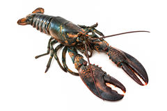Common lobster. Isolated on a white studio background stock images