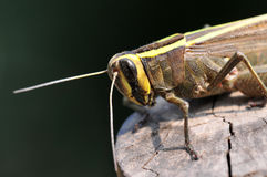 Common locust Royalty Free Stock Photography