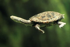 Common long-necked turtle Royalty Free Stock Photography