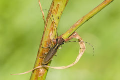 Common longhorn beetle Royalty Free Stock Images