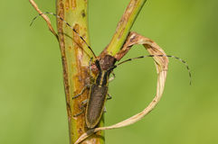 Common longhorn beetle Royalty Free Stock Photo