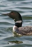 Common Loon. A Common Loon living on Island Lake in Northome, Minnesota Royalty Free Stock Images
