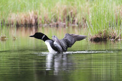 Common Loon. Preparing to take off royalty free stock photography