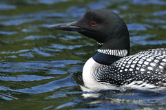 Common Loon. Close-up of Common Loon (Gavia immer) on a Lake on a Sunny Day Royalty Free Stock Photo