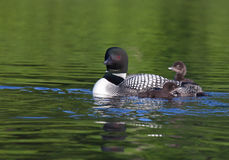 Common Loon. Close up of a common loon adult with two chicks. Springtime in Wisconsin royalty free stock photos