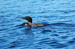 Common loon. In blue water of north lake Royalty Free Stock Photography