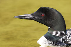 Common Loon Stock Images