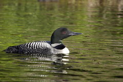 Common Loon. Single common loon with lake water reflecting green from adjacent foliage Stock Photography