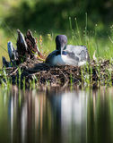 Common Loon - Acadia National Park - Maine. A nesting common loon at Jordan Pond in Acadia National Park, Maine Stock Images
