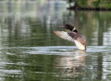 Common Loon Stock Image