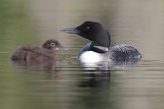Common Loon And Three-Week Old Chick Royalty Free Stock Photography
