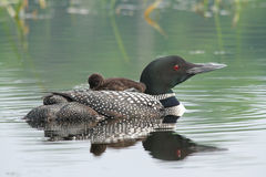 Common Loon Baby on Mothers Back royalty free stock photo