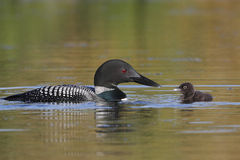 Common Loon Baby and Parent royalty free stock photography