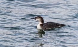 Common Loon Royalty Free Stock Photo