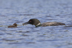A Common Loon carries a freshly caught fish to its chick - Ontar Royalty Free Stock Images