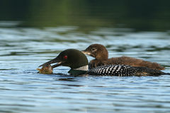 Common Loon catching a pumpkinseed sunfish Stock Photos
