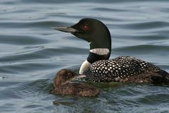 Common Loon with Chick Stock Photo