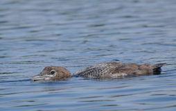 Common Loon Chick Royalty Free Stock Photo