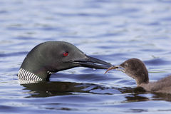 Common Loon with Chick. Common loon feeding chick fish with blue lake water as background Royalty Free Stock Photo