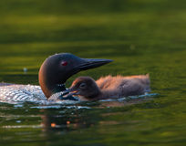 Common Loon with Chick royalty free stock images