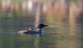 Common Loon with chick Royalty Free Stock Photos