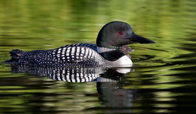 Common Loon with chick Stock Photography